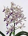 Vandachostylis Pinky Coerulea -台南國際蘭展 Taiwan International Orchid Show- (39032104540).jpg