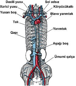 Venous system az.jpg
