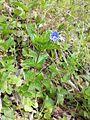 Veronica chamaedrys subsp. chamaedrys sl1.jpg