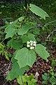 Viburnum acerifolium (35052610471).jpg