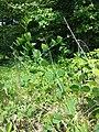 Vicia pisiformis sl2.jpg