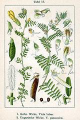 Vika panónska (Vicia pannonica)