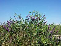 Vicia villosa s. str. sl4.jpg