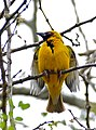 Village Weaver (Ploceus cucullatus) male (32364555211).jpg