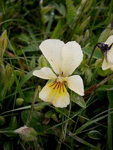 Viola lutea 05.jpg