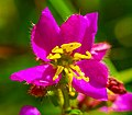Virginia Meadow Beauty (Rhexia virginica) (42921392652).jpg