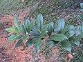 Vitex trifolia 10.JPG