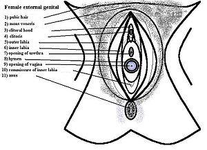 Vulva anatomy.