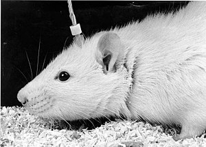Remote control animal - Chronic subcortical electrode implant in a laboratory rat used to deliver electrical stimulation to the brain.