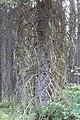 Wapta Falls Trail IMG 4929.JPG