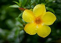 Water drops on a yellow flower (3333327322).jpg