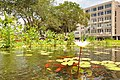 Water lilies and fish in Rabin Square eco pool.jpg
