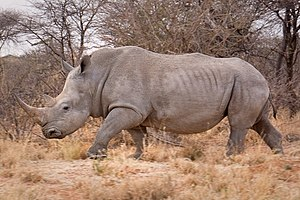 White rhinoceros - Southern white rhinoceros in Namibia.