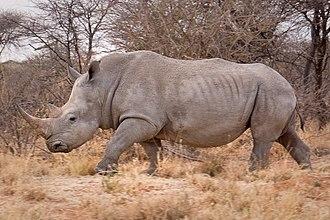 White rhinoceros - Southern white rhinoceros in Namibia.
