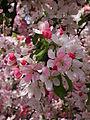 Weiß-rosa Blüten Nordbaden April 2012.JPG