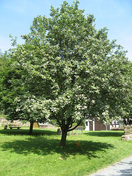 arbre le sorbus