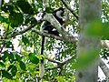 Western Guereza (Colobus guereza occidentalis) (17751465109).jpg