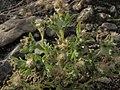 Western marsh cudweed, Gnaphalium palustre (16258555416).jpg