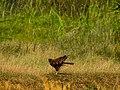 Western marsh harrier (Circus aeruginosus).jpg