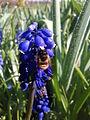 Westliche Honigbiene.jpg
