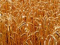 Wheat is ripe - Flickr - Stiller Beobachter.jpg
