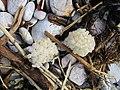 Whelk Egg Cases, Breakwater Beach (1).jpg