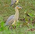 Whistling Heron (Syrigma sibilatrix) (28817946950).jpg