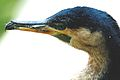 White-Breasted Cormorant (Phalacrocorax lucidus).jpg
