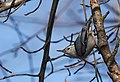 White-breasted Nuthatch (46382728751).jpg