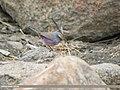 White-browed Tit Warbler (Leptopoecile sophiae) (44432815420).jpg