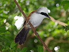 White-crested Laughingthrush RWD4.jpg