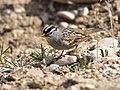 White-crowned sparrow at Seedskadee National Wildlife Refuge (40022834840).jpg