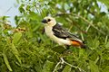White-headed Buffalo-Weaver - Kenya S4E5560 (22662486580).jpg