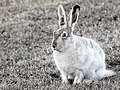 White-tailed Jackrabbit.jpg