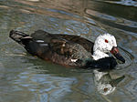 White-winged Duck RWD3.jpg