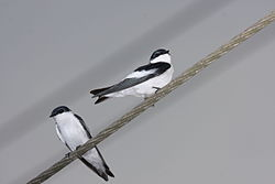 White-winged Swallow (Tachycineta albiventer).jpg