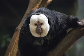 White Faced Saki.jpg