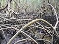White Mangroves, NPSPhoto (9101023477).jpg