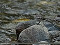 White Wagtail (Motacilla alba) (15273668574).jpg