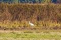Whooping crane (32014381948).jpg