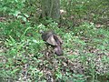 Wild Turkey in Pennsylvania.jpg