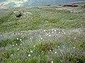 Wild Welsh Cotton - geograph.org.uk - 835386.jpg