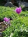 Wildflowers - panoramio - Raki Man.jpg