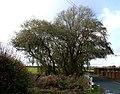 Willow, Drayton Bassett - geograph.org.uk - 285979.jpg