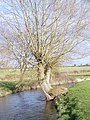 Willow tree beside the River Ebble, Odstock - geograph.org.uk - 719064.jpg