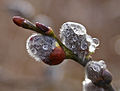 Willows after rain (2320140131).jpg