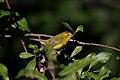 Wilsons Warbler (Wilsonia pusilla) (5055807432) (2).jpg