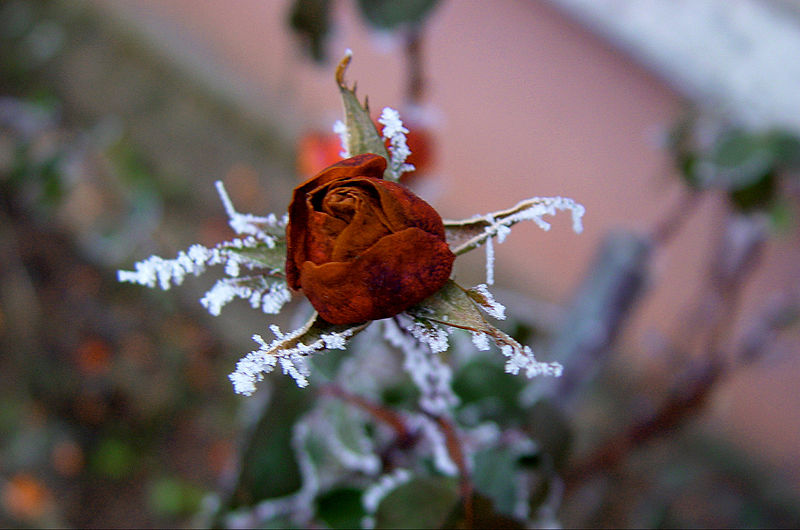 File:Winter rose.jpg