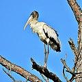 Wood Stork (5437074520).jpg