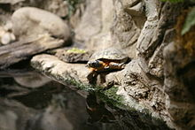 On a small rock ledge, this turtle is leaning over, readying to go for a swim.